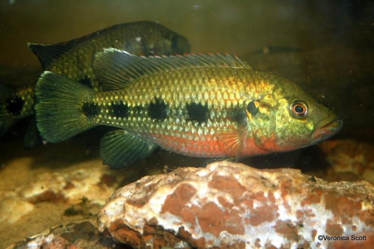 Banded jewel fish - Hemichromis elongatus 2